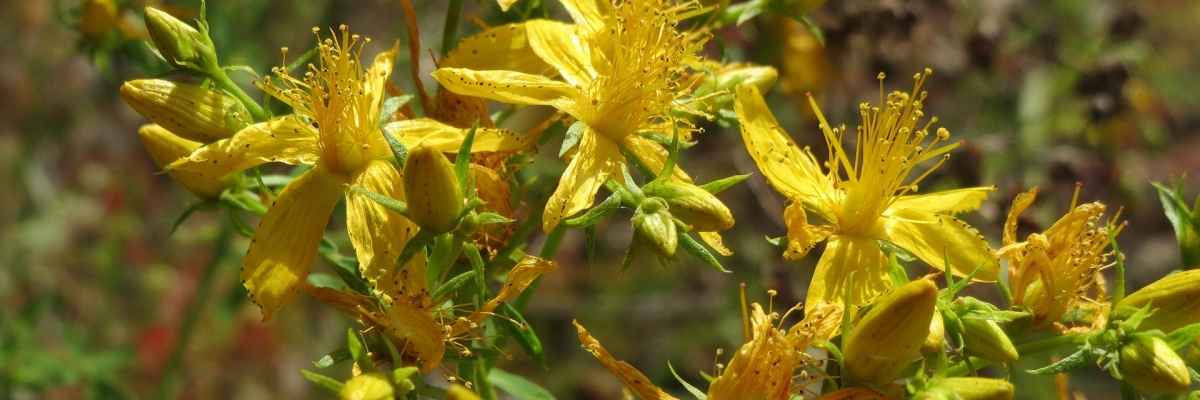 Pri ktorých liekoch by ste sa mali vyvarovať bylinke známej ako Ľubovník bodkovaný?