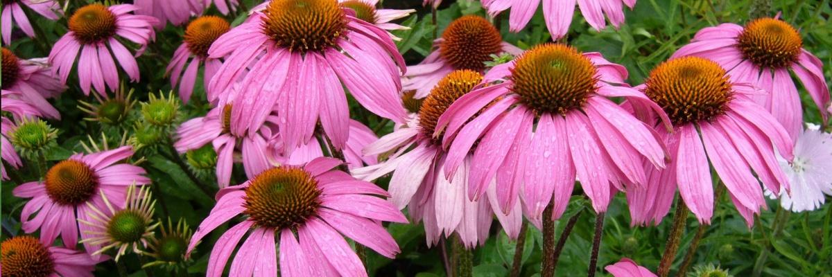 Pri ktorých ochoreniach sa nesmie užívať echinacea?